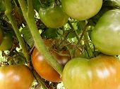 brown tomatoes ripening on plant