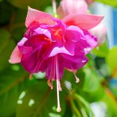 Blossoming Branch Exotic Colorful Fuchsia On Blue Sky,  `kathy's Sparkler`