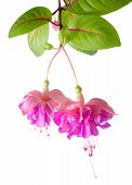 Blossoming Beautiful Colorful Fuchsia, Isolated On White Background, `kathy's Sparkler`