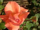 Peach Rose and Rosebud with Fence background