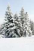 Snowbound Fir Trees In Area Via Lattea, Italy