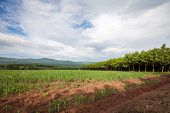 Rubber Trees  And Corn Field  With Cloud Sky
