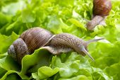stock photo of garden snail  - Slug in the garden eating a lettuce leaf. Snail invasion in the garden