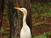 Intermediate Egret Heron