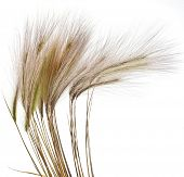 Fluffy colored spikelets  Isolated on white background