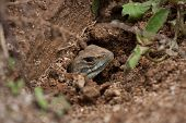 A Close Up Of Common Butterfly Lizard In The Hole