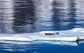 Seals Resting On Floating Ice