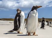 Two Penguins Close-up In The Falkland Islands