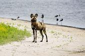 Wild Dog Next to a Pond on Liuwa Plains, Zambia, Africa