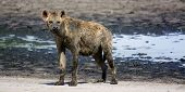 Muddy, Old Hyena on Liuwa Plains, Zambia, Africa