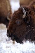 stock photo of tallgrass  - Bison - JPG
