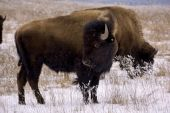 pic of tallgrass  - Bison - JPG