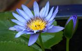 Blue Lotus Flower And Small Bees