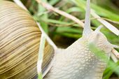 Big snail on grass macro