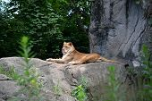 Lioness resting on rock outdoors