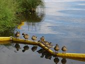 Ducks on a long