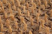 dry padi field