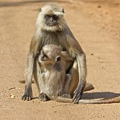 Female Langur And Cub