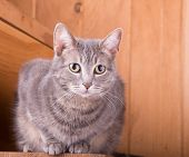 picture of blue tabby  - Blue tabby cat on rustic wooden steps - JPG