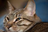 Tabby Cat Face