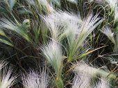 Grass - panicle. Fluffy grass. Dew on the grass.