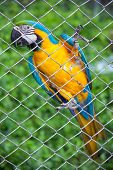 pic of green-winged macaw  - blue and yellow macaw in cage on green - JPG