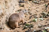 One Black-tailed Prairie Dog