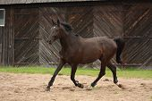 Black Horse Trotting Near The Farm