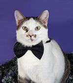 image of blue tabby  - White and tabby cat in bow tie and Christmas tinsel sitting on blue background - JPG