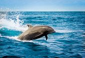 picture of bottlenose dolphin  - beautiful playful dolphin jumping in the ocean galapagos islands - JPG