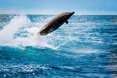 stock photo of bottlenose dolphin  - beautiful playful dolphin jumping in the ocean galapagos islands - JPG