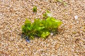 Seaweed On A Beach Sand, Closeup Algae