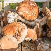 stock photo of porcini  - porcini mushrooms fresh harvest in wodden bowl - JPG