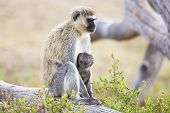 African monkey and her baby sits together