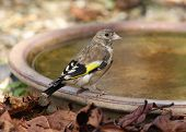 pic of goldfinches  - Portrait of a young Goldfinch on a water bowl - JPG