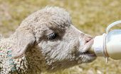 foto of baby sheep  - sheep drinking milk from the baby bottle - JPG
