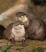 stock photo of claw  - A family of Oriental Short Clawed Otters - JPG