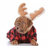 pic of dogue de bordeaux  - christmas puppy  - JPG