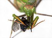 Praying Mantis Eating a Fly close up