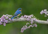 Eastern Bluebird in Lilacs
