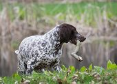 german shorthaired pointer playing with a stick