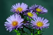The aster flowers