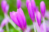 Crocus. Violet Spring Flowers On Green Meadow