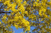 Bright Linden Blossom On Branches On Blue Sky