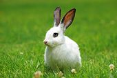A view of a white rabbit on a grass