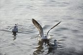 picture of spread wings  - seagull is spread the wings on the sea - JPG