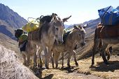 stock photo of workhorses  - Mule train carrying loads Cordillera Huayhuash Andes Peru South America - JPG