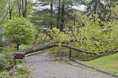 Storm Topples Oak Tree Across A Neighborhood Street