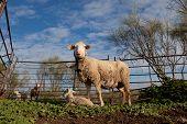 Baby Lamb And Her Maternal Sheep
