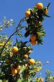 Oranges Everywhere!
